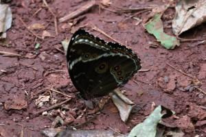 Morpho helenor coelestis (Weibchen), Argentinien