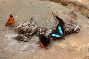 u.a. Morpho helenor coelestis Männchen (blau) ; Diaethria neglecta (88), beides Edelfalter (Nymphalidae);