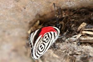 Edelfalter (Nymphalidae) Diaethria neglecta