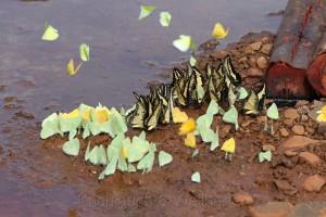 Febo, Phoebis sennae marcellina, Argentinien, RP 20