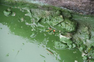 Cyanobakterien als bakterieller Marker des Lago Amatitlan, Guatemala.