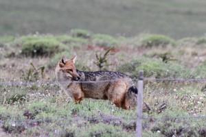 Andenschakal (Lycalopex culpaeus, früher Pseudalopex culpaeus und Dusicyon culpaeus), Patagonien, Chile