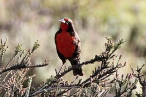 Pecho Colorado (Sturnella superciliaris), Patagonien, Chile