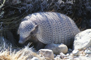 Gürteltier (Dasypoda) , RN 40, Chile