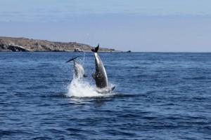 Delphine im Naturschutzgebiet Pingüino de Humboldt, Chile