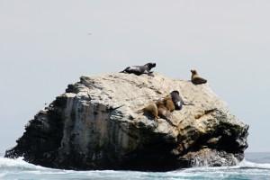 Seelöwenkolonie im Naturschutzgebiet Pingüino de Humboldt, Chile
