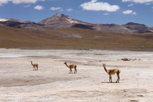 Lamas, Geothermalgebiet El Tatio, Chile