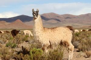 Lamas an der RN40, Antofagasta, Argentinien