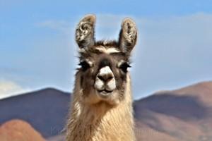 Lama an der RN40, Antofagasta, Argentinien