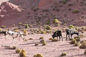 Wildpferde an der RN 40, Antofagasta, Argentinien