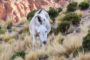 Wildpferd an der RN 40, Antofagasta, Argentinien