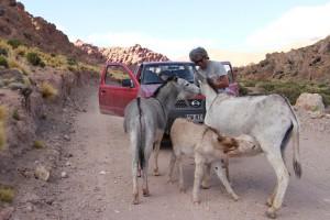 Wildesel an der RN 40, Antofagasta, Argentinien (Peter Weilharter)