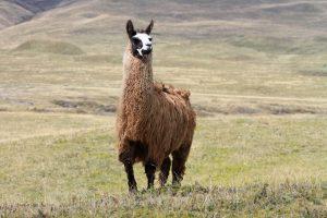 Die ersten Lamas die uns in Südamerika begegnet sind.
