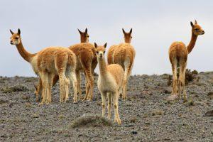 Naturreservat Chimborazo