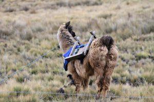 gesatteltes Lama, Chimborazo, Ecuador
